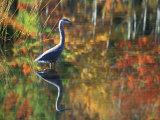 Great Blue Heron in Fall Reflection, Adirondacks, New York, USA Fotografie-Druck von Nancy Rotenberg