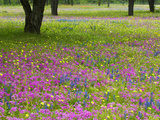 Field of Texas Blue Bonnets, Phlox and Oak Trees, Devine, Texas, USA Photographie par Darrell Gulin