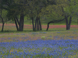 Texas Blue Bonnets and Oak Trees, Nixon, Texas, USA Photographic Print by Darrell Gulin