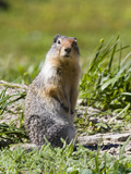 Columbia Ground Squirrel in Glacier National Park, Montana, USA Photographic Print by Diane Johnson