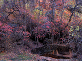 Fall Color in Zion National Park, Utah, USA Photographie par Diane Johnson