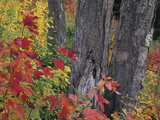 Yellow Birch Tree Trunks and Fall Foliage, Kancamagus Highway, White Mountain National Forest Photographic Print by John & Lisa Merrill