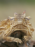 Horned Lizard or Toad Rests on Tree Stump, Cozad Ranch, Linn, Texas, USA Photographic Print by Arthur Morris