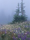 Lupine and Bistort Meadow, Hurricane Ridge, Olympic National Park, Washington, USA Photographic Print by Jamie & Judy Wild