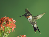 Ruby-Throated Hummingbird in Flight Feeding on Kalanchoe Flower, New Braunfels, Texas, USA Photographic Print by Rolf Nussbaumer