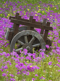Wooden Cart in Field of Phlox, Blue Bonnets, and Oak Trees, Near Devine, Texas, USA Photographic Print by Darrell Gulin