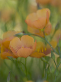 Yellow Flax Along Interstate 35, Near Devine, Texas, USA Photographic Print by Darrell Gulin