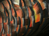 Wild Turkey Feather Close-up, Las Colmenas Ranch, Hidalgo County, Texas, USA Photographic Print by Arthur Morris