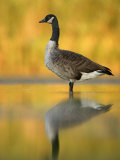 Portrait of Canada Goose Standing in Water, Queens, New York City, New York, USA Photographic Print by Arthur Morris