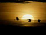Silhouettes of Sandhill Cranes, Bosque Del Apache National Wildlife Reserve, New Mexico, USA Photographie par Arthur Morris