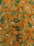 Close-up of Yellow Fringed Orchid with Dew in Summertime, Michigan, USA Photographic Print by Mark Carlson