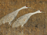 Sandhill Cranes in Marsh Prepare for Takeoff, Bosque Del Apache National Wildlife Reserve Photographic Print by Arthur Morris
