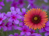 Phlox and Indian Blanket, Near Devine, Texas, USA Photographic Print by Darrell Gulin