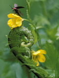 Lightning Bug Taking Flight Atop Buttercup with Ferns, Pennsylvania, USA Photographic Print by Nancy Rotenberg