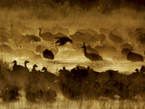 Flock of Snow Geese and Sandhill Cranes in Water and Ground Fog Photographie par Arthur Morris