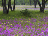 Agave in Field of Texas Blue Bonnets, Phlox and Oak Trees, Devine, Texas, USA Photographic Print by Darrell Gulin
