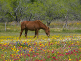 Quarter Horse in Wildflower Field Near Cuero, Texas, USA Photographic Print by Darrell Gulin