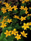 Urban Forestry Center, Marsh Marigolds, Portsmouth, New Hampshire, USA Photographic Print by Jerry &amp; Marcy Monkman