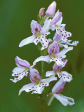 Close-up of Small Round-Leafed Orchis Orchids in Springtime, Upper Peninsula, Michigan, USA Photographic Print by Mark Carlson