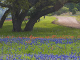 Oak Trees, Blue Bonnets, and Indian Paint Brush, Near Gay Hill, Texas, USA Photographic Print by Darrell Gulin