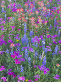 Phlox, Blue Bonnets and Indian Paintbrush Near Brenham, Texas, USA Fotografie-Druck von Darrell Gulin
