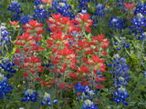 Field of Texas Blue Bonnets and Indian Paintbrush, Texas Hill Country, Texas, USA Photographie par Darrell Gulin