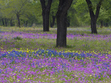 Field of Texas Blue Bonnets, Phlox and Oak Trees, Devine, Texas, USA Photographic Print by Darrell Gulin