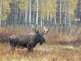 Bull Moose in Snowstorm with Aspen Trees in Background, Grand Teton National Park, Wyoming, USA Photographic Print by Rolf Nussbaumer