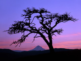 Windswept Pine Tree Framing Mount Hood at Sunset, Columbia River Gorge National Scenic Area, Oregon Photographic Print by Steve Terrill