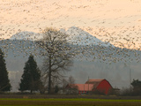 Flock of Snow Geese Take Flight, Mt. Baker and Cascades at Dawn, Fir Island, Washington, USA Photographic Print by Trish Drury