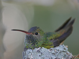 Detail of Buff-Bellied Hummingbird Sitting on Nest Atop Cactus Plant, Raymondville, Texas, USA Photographic Print by Arthur Morris