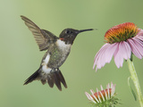 Ruby-Throated Hummingbird in Flight Feeding on Purple Coneflower, New Braunfels, Texas, USA Photographic Print by Rolf Nussbaumer