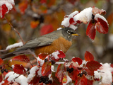 Male American Robin in Black Hawthorn, Grand Teton National Park, Wyoming, USA Photographic Print by Rolf Nussbaumer