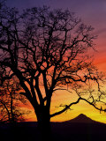 Oak Tree Framing Mt. Hood at Sunset, Columbia River Gorge National Scenic Area, Oregon, USA Photographic Print by Steve Terrill