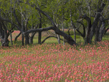 Springtime with Indian Paint Brush and Oak Trees, Near Nixon, Texas, USA Photographic Print by Darrell Gulin