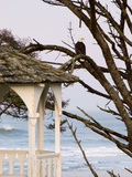 Eagle Perched at Entrance to Beach Trail, Kalaloch Lodge, Olympic National Park, Washington, USA Photographic Print by Trish Drury