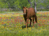 Quarter Horse in Wildflower Field Near Cuero, Texas, USA Stampa fotografica di Gulin, Darrell