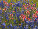 Blue Bonnets and Indian Paint Brush, Texas Hill Country, Texas, USA Photographic Print by Darrell Gulin