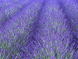 Lavender Field, Sequim, Olympic National Park, Washington, USA Photographic Print by Charles Sleicher
