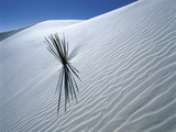 Solitary Yucca Grows on Gypsum Sand Dune, White Sands National Monument, New Mexico, USA Photographic Print by Jim Zuckerman