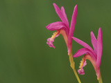 Close-up of Native Orchids (Arethusa), Michigan, USA Photographic Print by Mark Carlson
