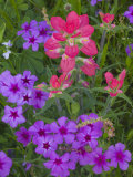 Phlox and Indian Paint Brush Near Devine, Texas, USA Photographic Print by Darrell Gulin