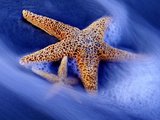 Two Starfish on Beach, Hilton Head Island, South Carolina, USA Fotografie-Druck von Charles R. Needle