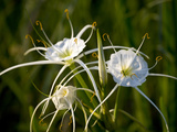 Spider Lily on Edge of Pond Near Cuero, Texas, USA Photographic Print by Darrell Gulin
