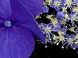 Close-up of Hydrangea, Seattle, Washington, USA Photographic Print by Nancy & Steve Ross