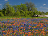Blue Bonnets and Indian Paintbrush with Oak Trees in Distance, Near Independence, Texas, USA Photographie par Darrell Gulin