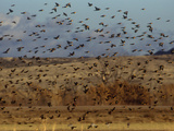 Yellow-Headed and Red-Winged Blackbirds in Refuge, Bosque Del Apache, New Mexico, USA Photographic Print by Diane Johnson