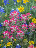 Blue Bonnets, Arnica, and Indian Paintbrush, Near Cuero, Texas, USA Photographie par Darrell Gulin
