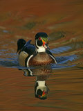 Abstract of Wood Duck Drake Swimming in Autumn Color Reflections, Chagrin Reservation, Cleveland Photographie par Arthur Morris
