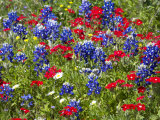 Texas Blue Bonnets and Red Phlox in Industry, Texas, USA Photographic Print by Darrell Gulin